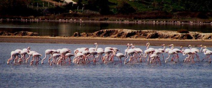 Pink Flamingos on LakeTuzla