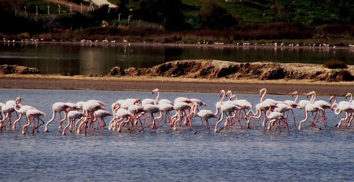 Pink Flamingos on Lake Tuzla