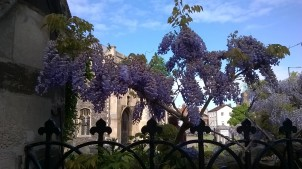 St Giles Wisteria 1