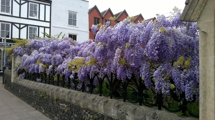 St Giles Church Wisteria 1
