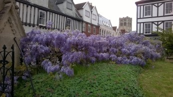 St Giles Church Wisteria