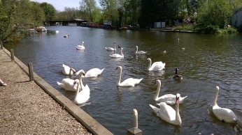 River Yare Swans